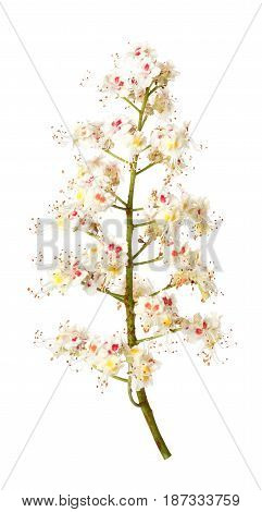 chestnut flowers isolated on white background. Horse-chestnut or aesculus hippocastanum blossom