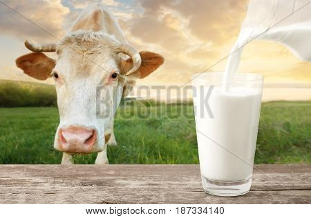 milk from jug pouring into glass on table with cow on the meadow in the background. Glass of milk on wooden table. Closeup of cow muzzle look at the camera. Photo with copy space. Pouring milk