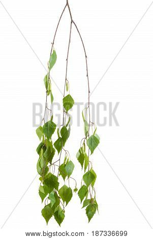 Branch of the birch with young leaves and catkins hanging down on a light background