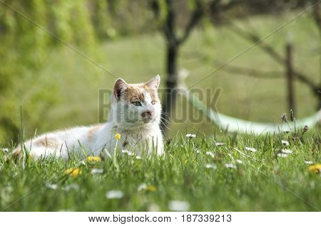 White and yellow rustic cat in green grass garden courtyard