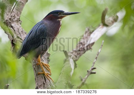 Green Heron perched on a tree branch in a green forest on a summer day
