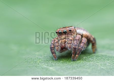 Carrhotus sannio (female) or Jumping spider on green leaf