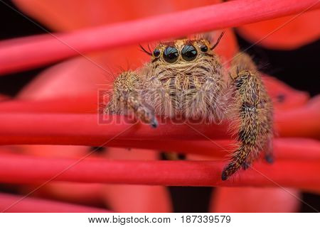 Close up female Hyllus diardi or Jumping spider on red Ixora