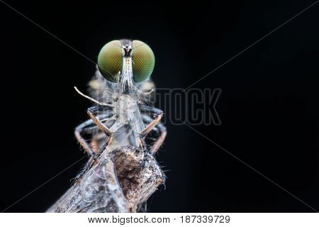 Close up Robber fly with prey in nature