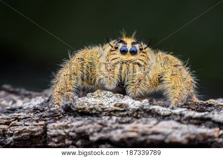 Close up female Hyllus diardi or Jumping spider on rottedwood
