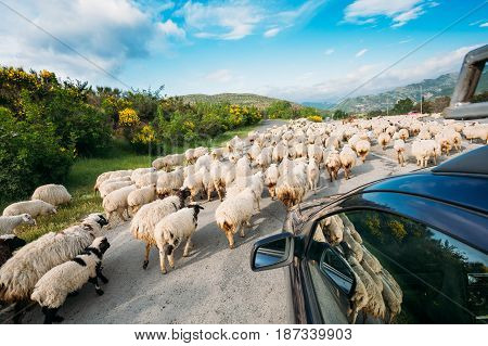 Georgia, Caucasus. The Back View From The Car Window Of Flock Of Shaggy White Sheep Moving Along The Highway In The Countryside In Highlands.