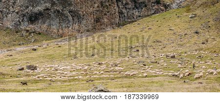 Central Asian Shepherd Dog Tending Flock Sheep In The Mountains Of Georgia. Alabai - An Ancient Breed From The Regions Of Central Asia. Used As Shepherds, As Well As To Protect And For Guard Duty.