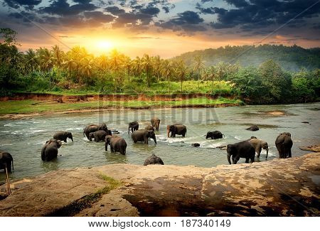 Herd of elephants bathing in the jungle river of Sri Lanka