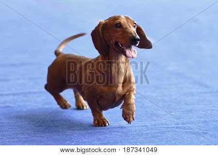 Portrait of short haired dachshund during the dog show