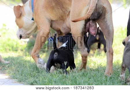 Female Dog Of American Staffordshire Terrier Feeding Up Puppies