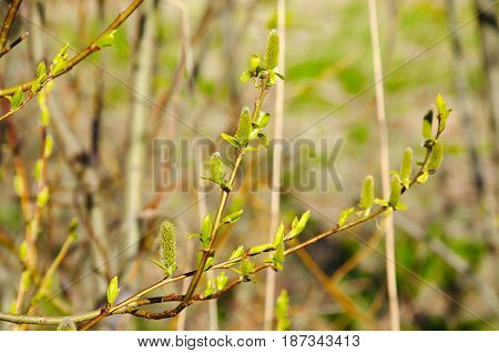 Awakening of nature in spring. Young leaves and bloom buds on the branches. The green young shoots of trees.