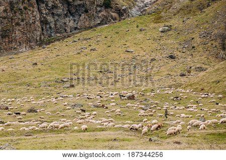 Darial Gorge, Georgia. Shepherd herding sheep in mountains of Georgia. Mtskheta-Mtianeti Region, Georgia.