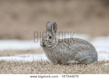 Mountain Cottontail Rabbit On Grass And Snow With Dead Grass As Forage