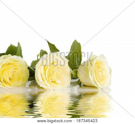 Three yellow roses in a row isolated on a white background reflected in the water surface with small waves with space for text