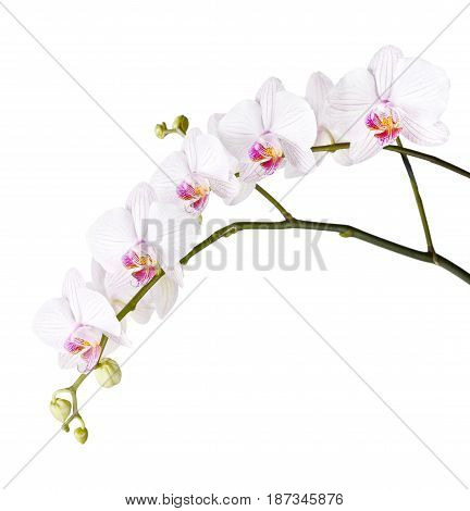 Long branch of white orchids phalaenopsis isolated on a white background