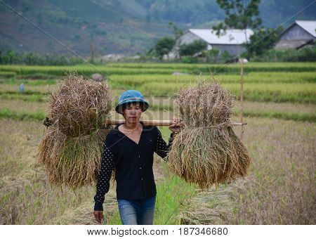 People Harvesting Rice On The Field In Vietnam