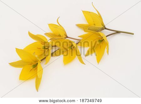 Tulipa sylvestris bouquet of yellow forest flowers on a light background