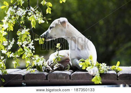 Puppy whippet in the blooming garden