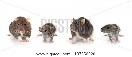 Cute rats on white background