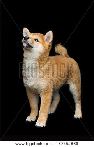Beautiful brown japanese shiba inu puppy dog standing over black background. Copy space.