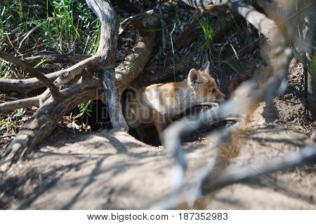 photo of little red fox in the Russian forest