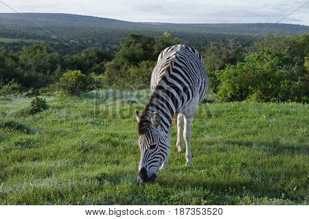 Plains Zebra Foraging In Addo Elephant National Park