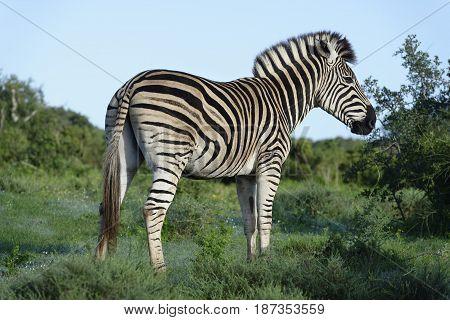 Plains Zebra In Addo Elephant National Park