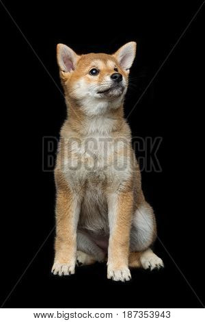 Beautiful brown japanese shiba inu puppy dog sitting over black background. Copy space.