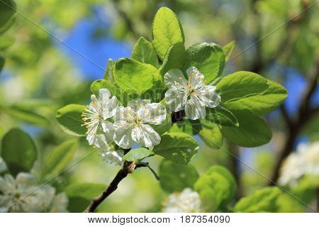 Blooming flowers on a branch of a plum tree in green foliage / flowering fruit gardens