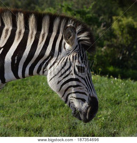 Plains Zebra Eating In Addo Elephant National Park