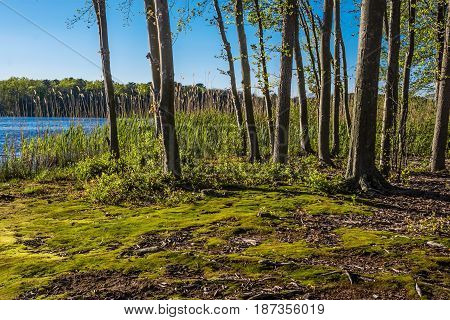 Green moss along the shoreline of Lake Maguerite on this sunny Spring day in Helmetta New Jersey.