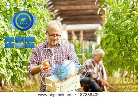 organic farming, gardening, old age and people concept - senior woman and man harvesting crop of tomatoes at greenhouse on farm