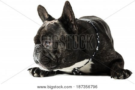French bulldog in a tie lying on white background