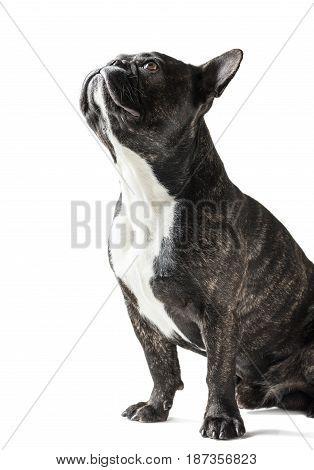 French Bulldog dog close-up on a white background