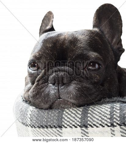 French bulldog lying in bed close-up on white background