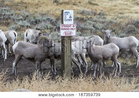Bighorn Sheep Parking Improperly Next To Sign For Straight Parking Only