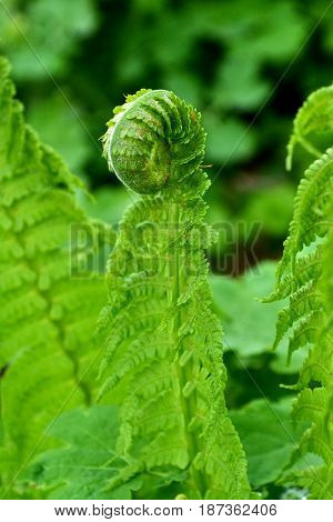 The bright emerald fern stalk stands against the background of the green fern leaf in the park in the early morning