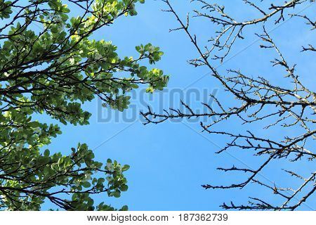 Flowering and withered trees against the blue sky a view from below/ rise and fall of an orchard fruit