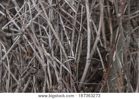 Tangled tree branches. Dead branches. Natural abstract bakground photo