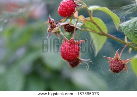 ripe raspberries on a branch in the forest with spider webs on the leaves