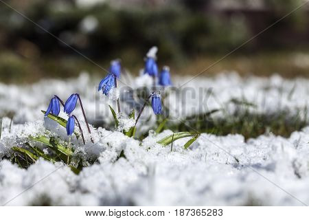 Scilla, the first flower in the garden, park. Closeup on a plant covered in hail, snow.
