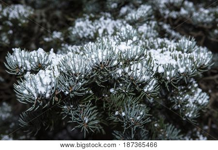 Closeup on a fir, a twig and hail newly fallen. Green and white in spring.
