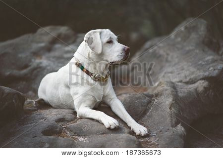 young beautiful labrador retriever dog puppy pet in the forest during a sunny hiking pause