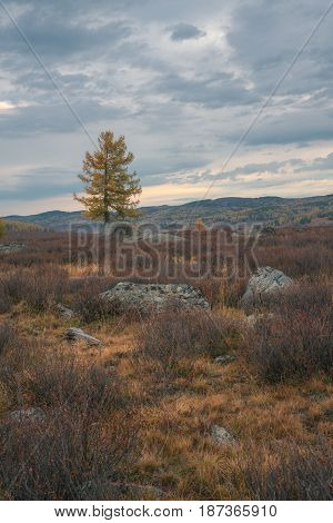 Lonely tree on the background of the autumn landscape, Altai region, Siberia, Russia