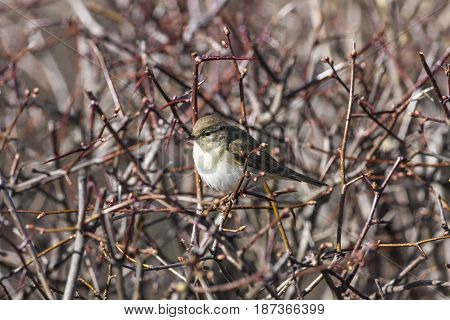 A bird, willow warbler sits in a Swedish whitebeam. Good protection for the cats.