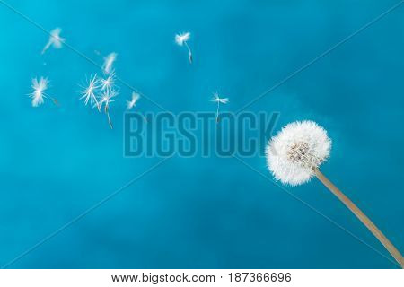 White dandelion head blowball with flying seeds on blue background