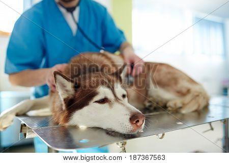Sick husky dog having medical treatment while lying on table