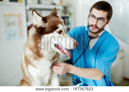 Husky dog having vet treatment in clinics