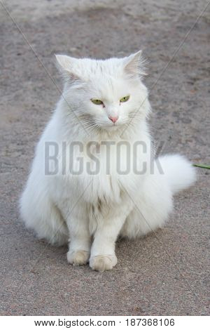 White cat looking away outside in yard in early morning