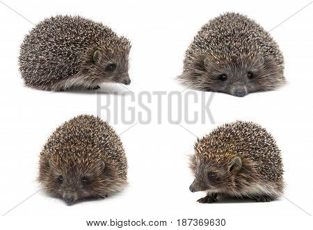 hedgehog isolated on white background close up. Horizontal photo.